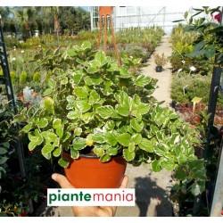 Plectranthus o incenso (antizanzare)