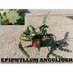 EPIPHYLLUM ANGULIGER BK17