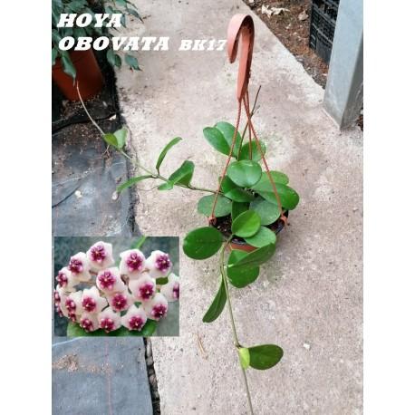 HOYA OBVATA BK17