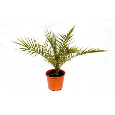 Palma Phoenix Canariensis