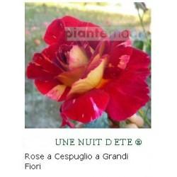 ROSA UNE NUIT D ETE ®