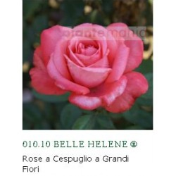 ROSA BELLE HELENE ®