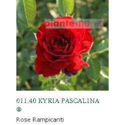 ROSA KYRIA PASCALINA ®