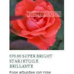 ROSA ETOILE BRILLANTE ®