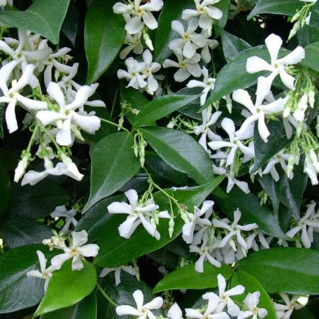 Rincospermum Gelsomino