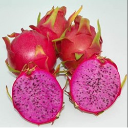 Hylocereus physical graffiti 3A Pitaya (Dragon Fruit)