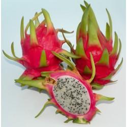 Hylocereus thomson 4A Pitaya (Dragon Fruit)