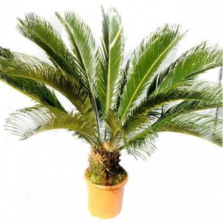 Cycas Revoluta 90cm