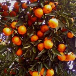 Mandarino Comune