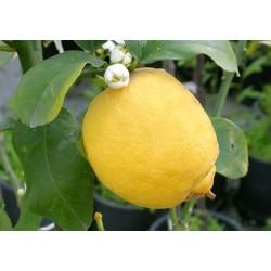 Limone Zagara Bianca