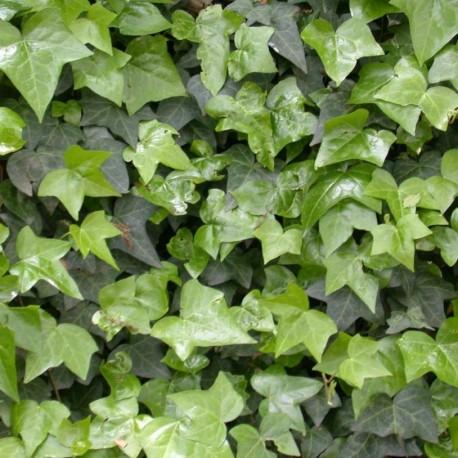 Edera Sempreverde