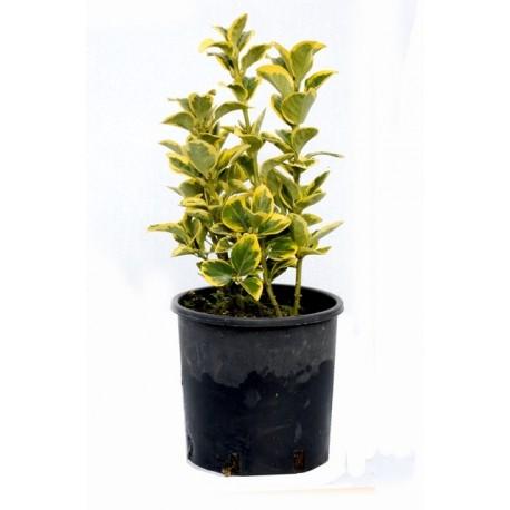 Evonymus variegato