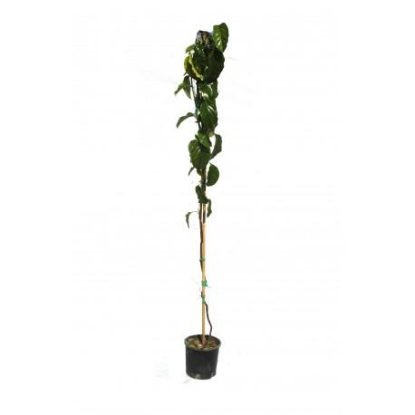 Passiflora Quadrangolaris