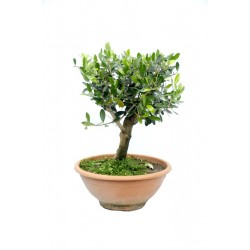 Ulivo Bonsai h55 ,diam.35