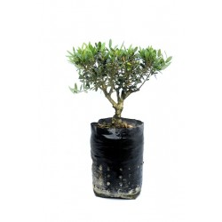 Ulivo Bonsai fitocella