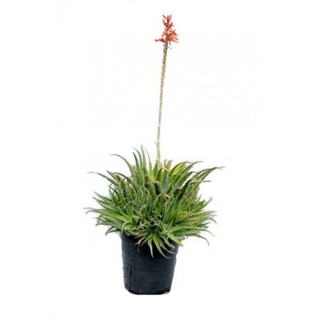 Aloe Spinosissima